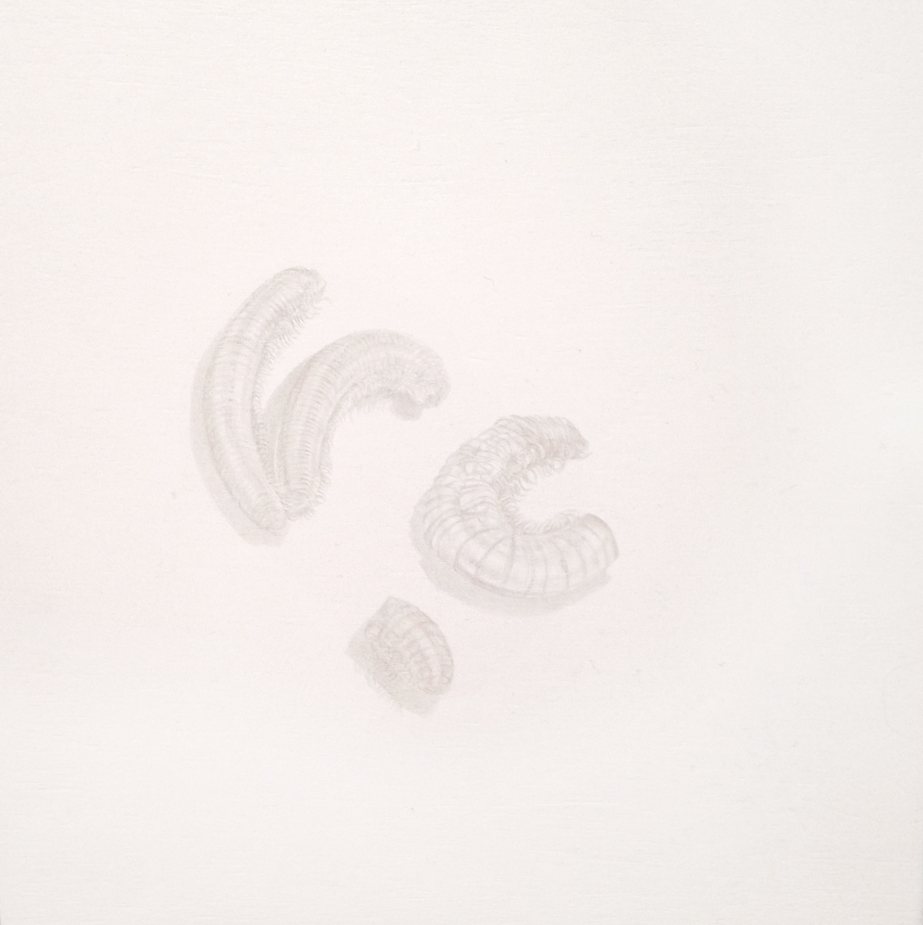 """Amanda Quiroz   Objects of Dust: Three Millipedes,  2013  silverpoint on panel 6"""" x 6"""" $500"""