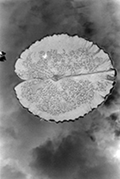 Toby Kahn  Lily Pad in the Sky,  2009 gelatin silver print 16 x 20