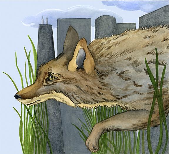 City Coyote