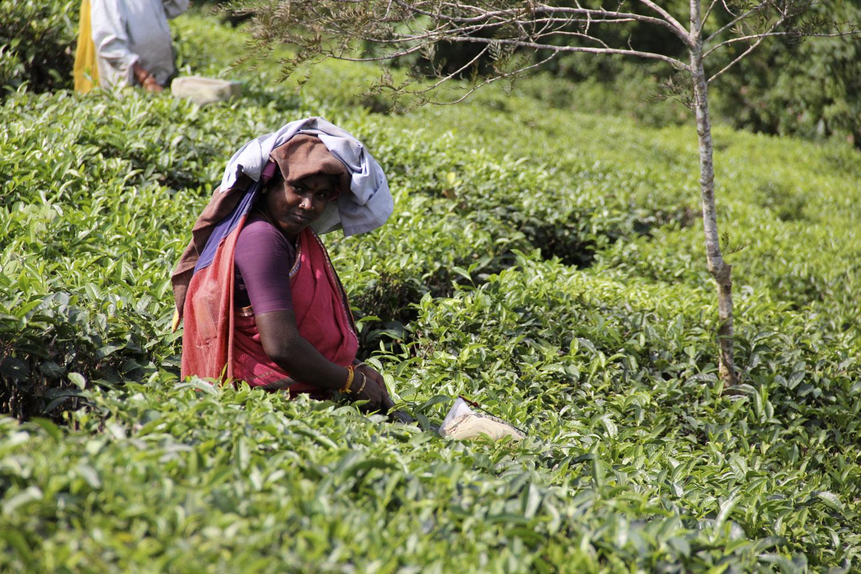 teafields3.jpg