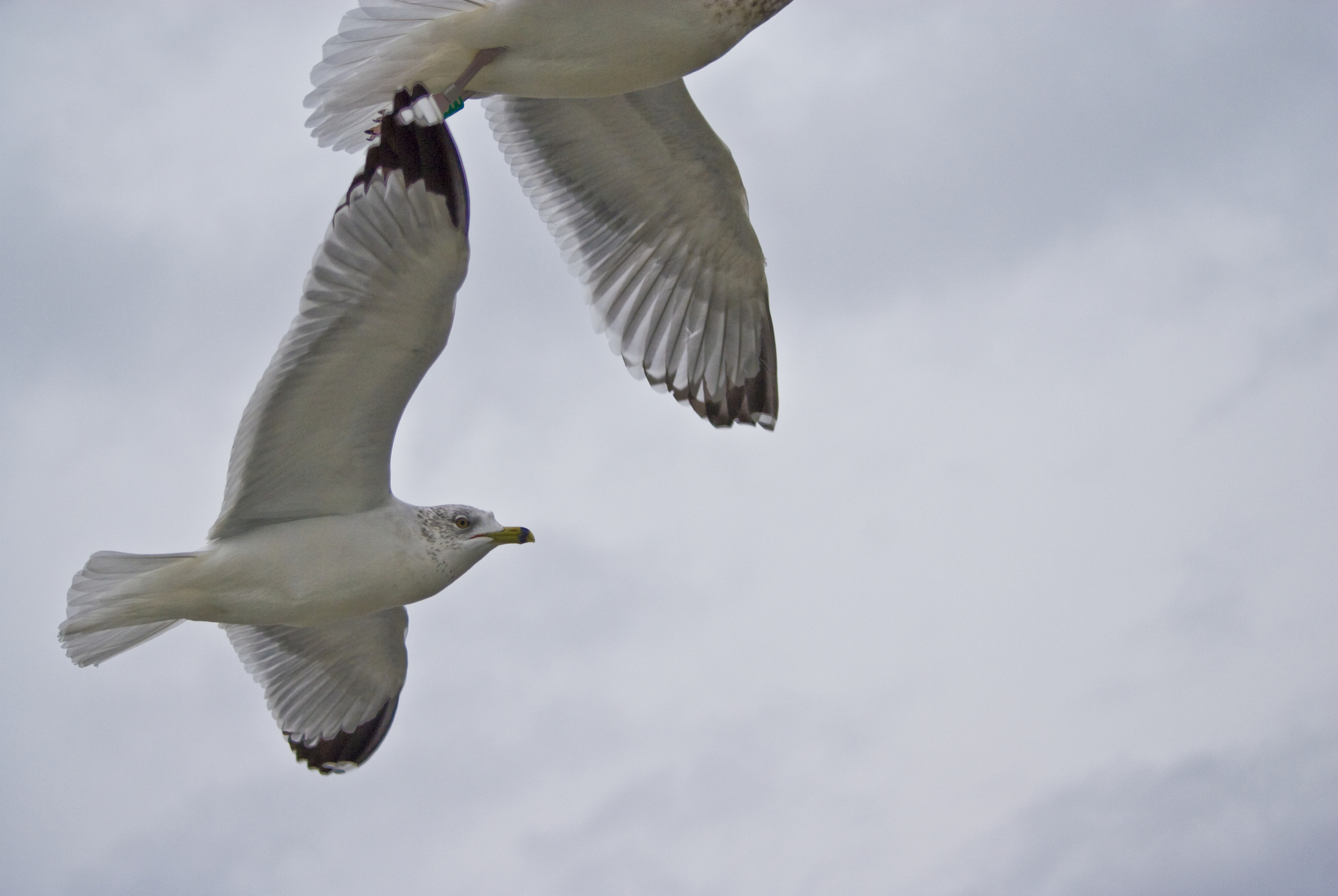 2010 Xmas Gulls 02.jpg