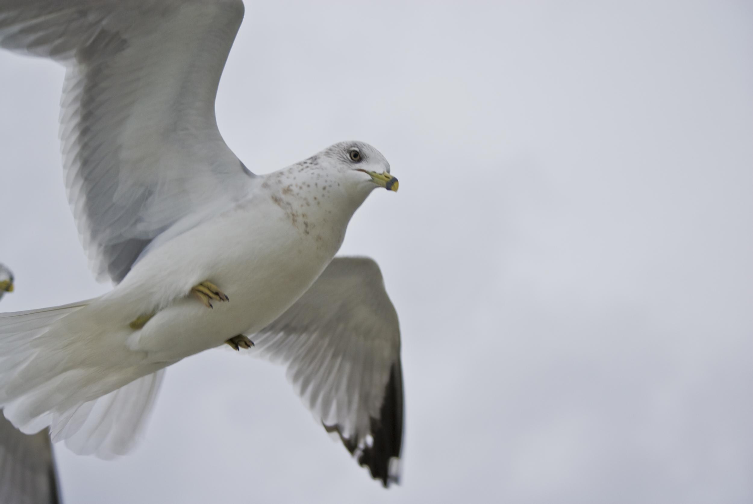 2010 Xmas Gulls 03.jpg