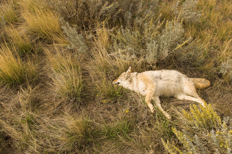 Horan-07-Coyote_KXH9238.jpg
