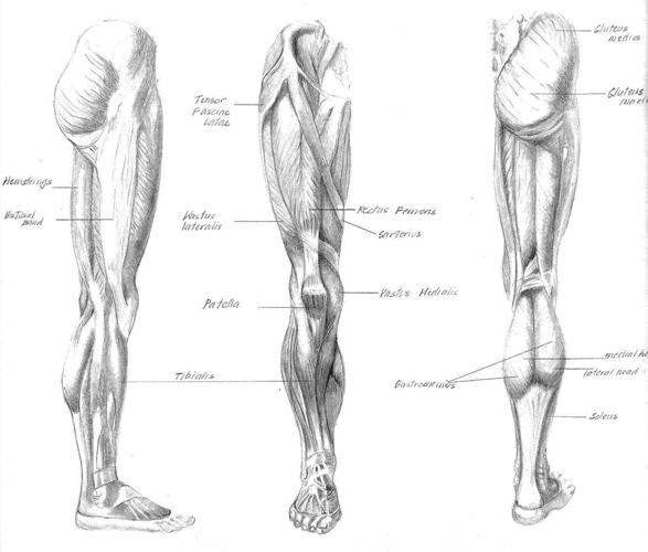Leg-studies.jpg