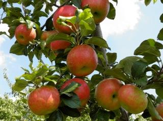ștergeți oțetul apple varicoză