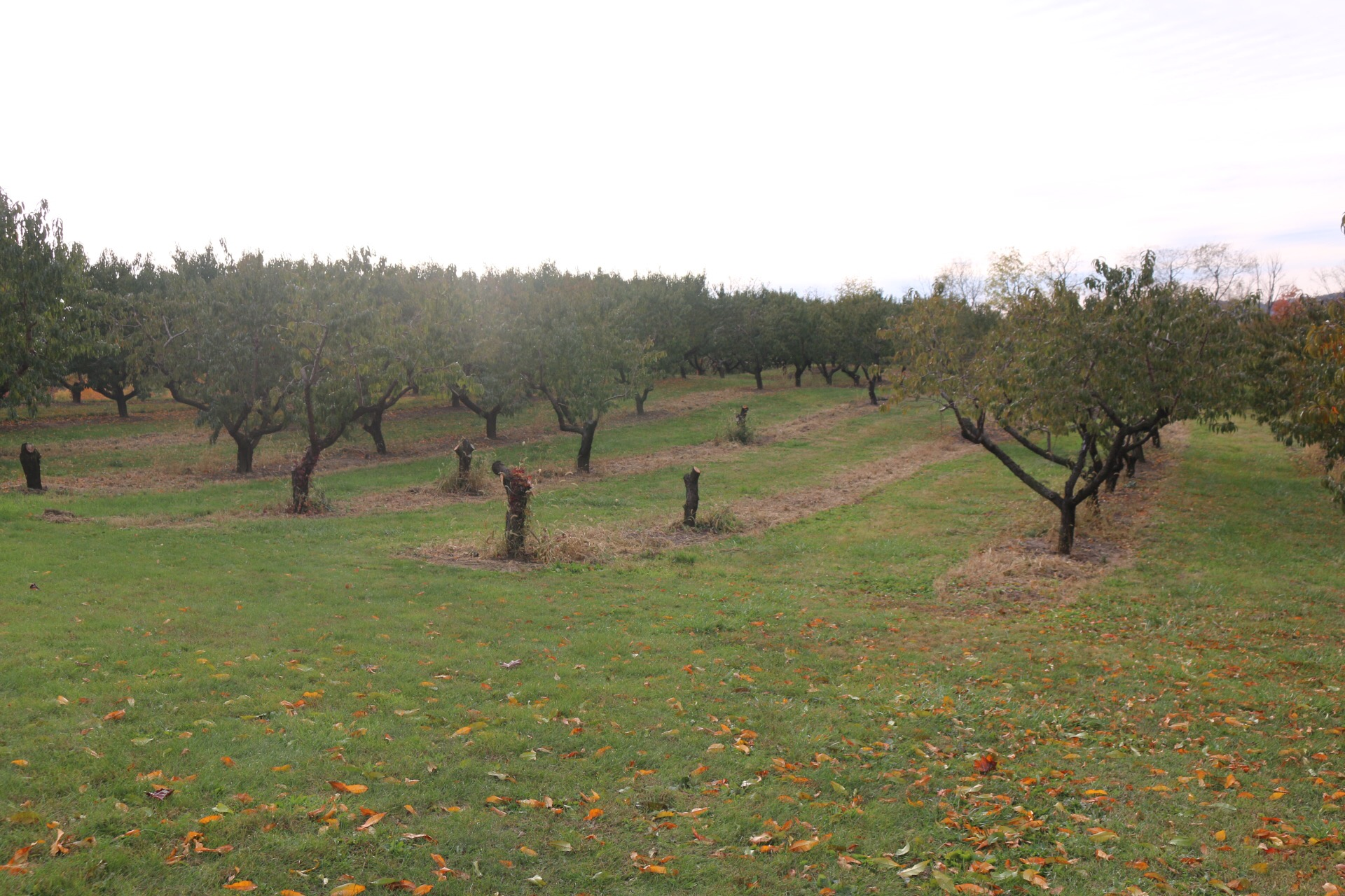 orchard17.JPG