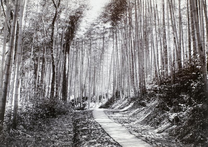 Path through bamboo groves, 1911