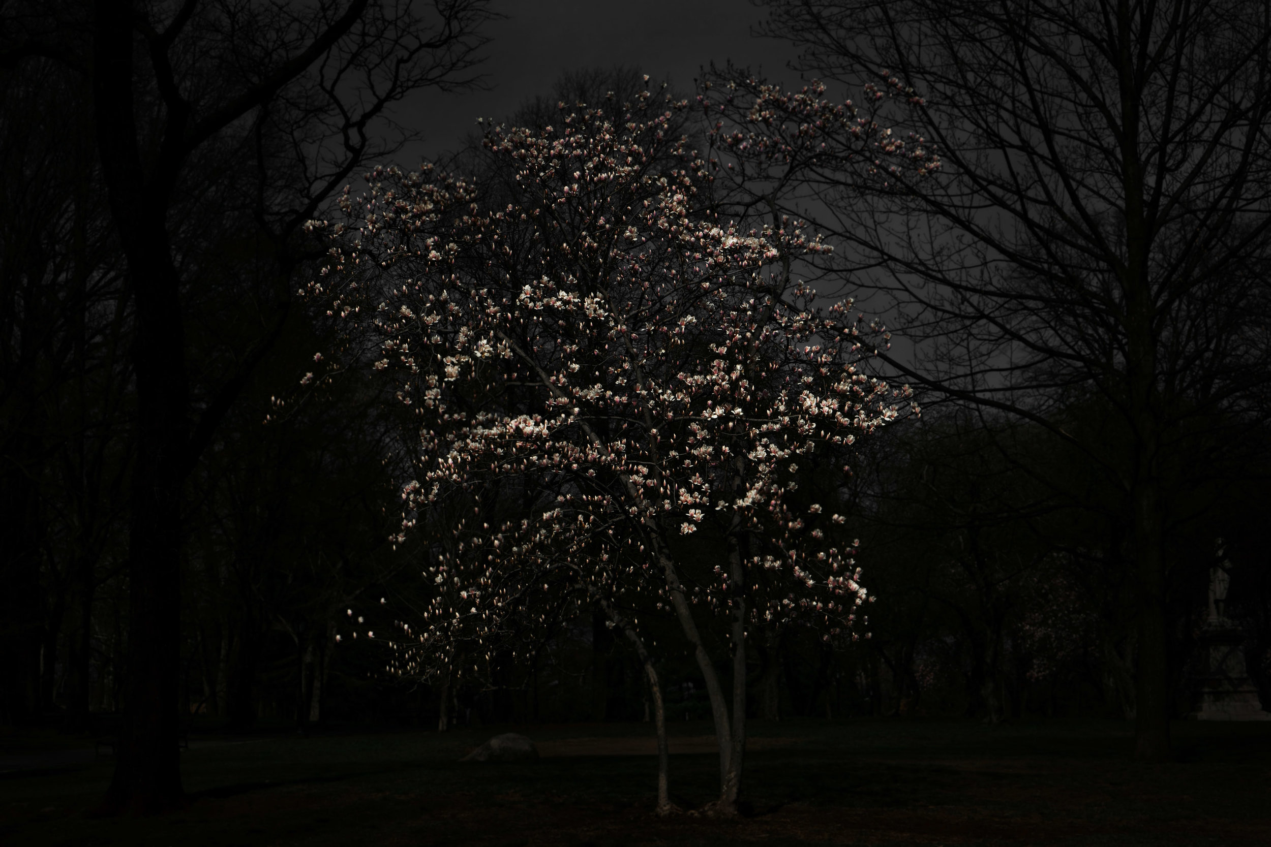 shen-wei-between-blossoms-photography-of-china-magnolia_tree.jpg