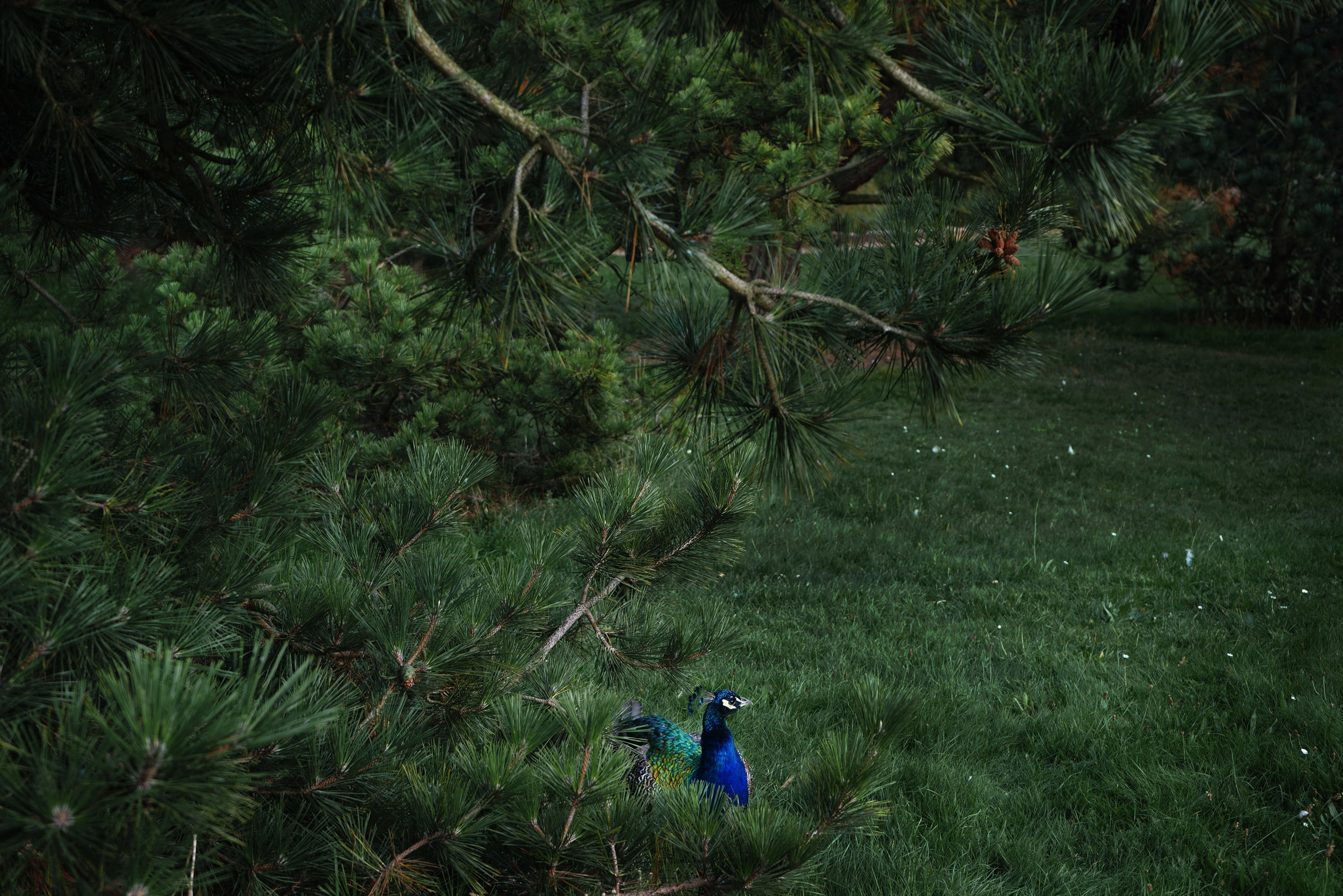 shen-wei-between-blossoms-photography-of-china-peacock.jpg