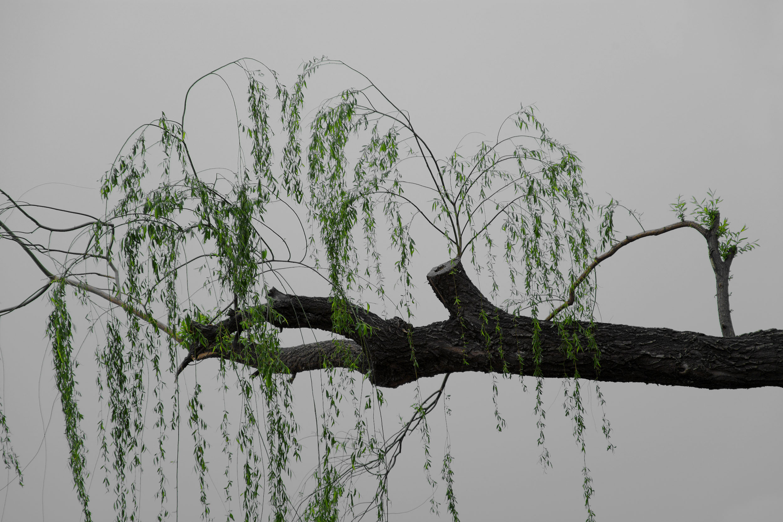 shen-wei-between-blossoms-photography-of-china-willow_tree.jpg