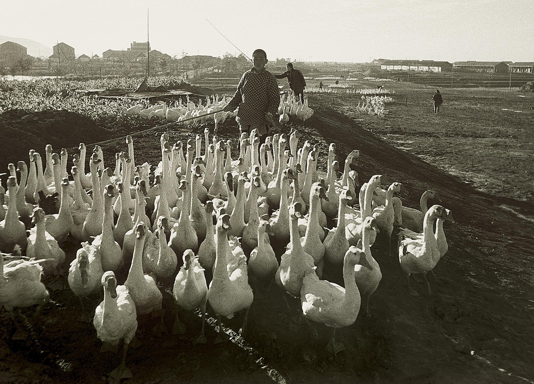 公社的鹅群, Commune gaggle, early 1960 / Courtesy of Jin Hua