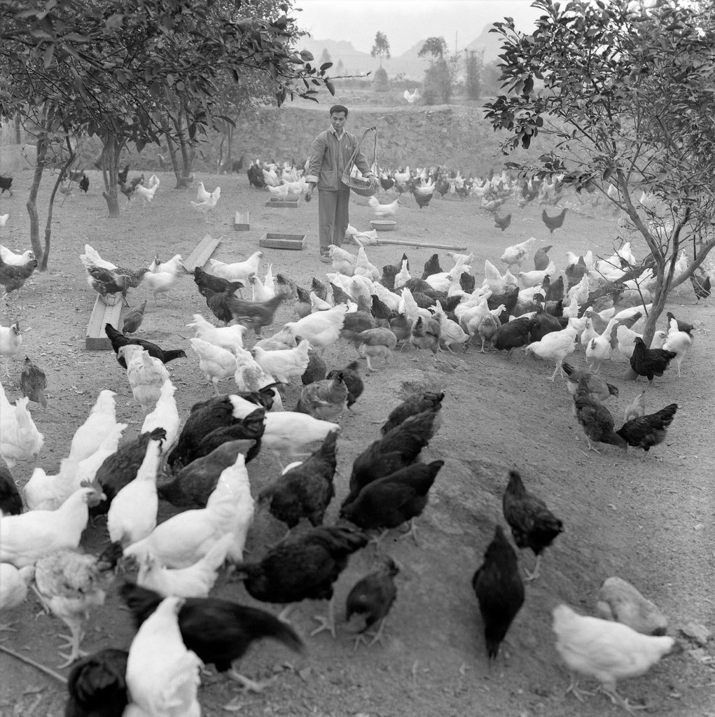 Chicken Farm at the Insititue of Animal Husbandry of Lianzhou, 1970s Photo by Du Jixi, Courtesy of the Artist