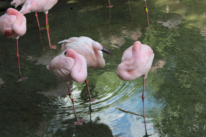 Here are some flamingos just chilling. I think they sleep on one leg and every so often they switch to the other leg.