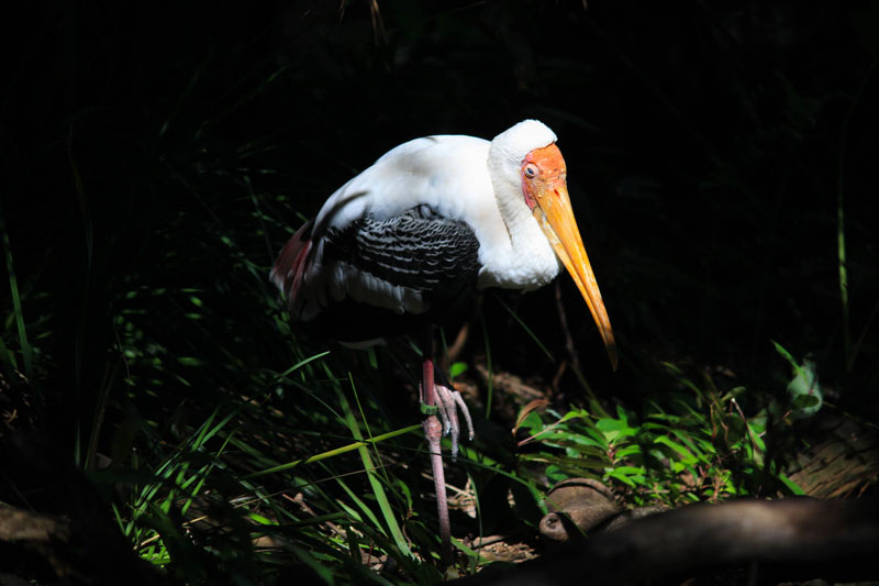 Not sure what kind of bird this is but I think it may be a stork. Correct me if I'm wrong ha
