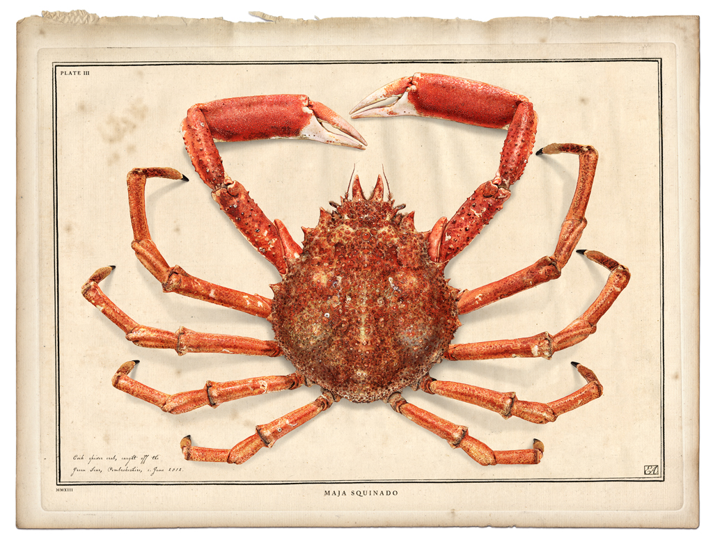 Spider Crab Soleshare