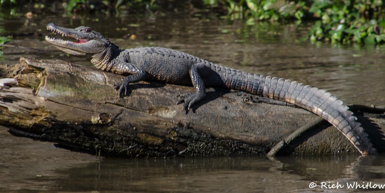 Alligator Sunnin'