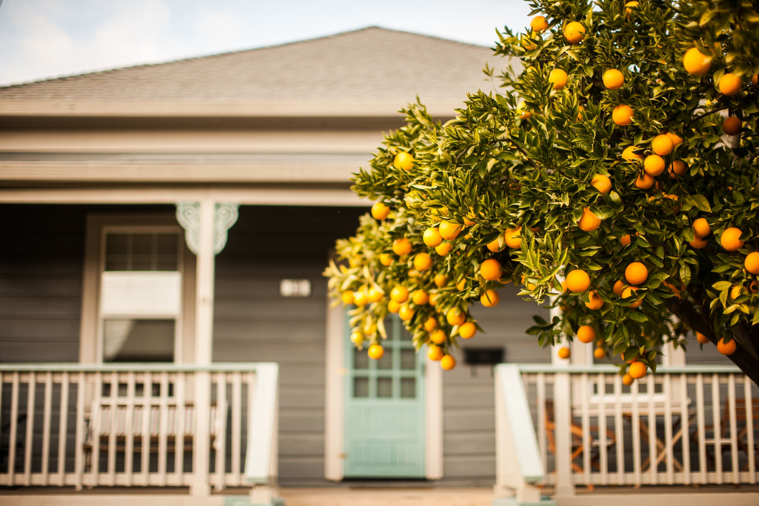 An orange tree in Sonoma, California.