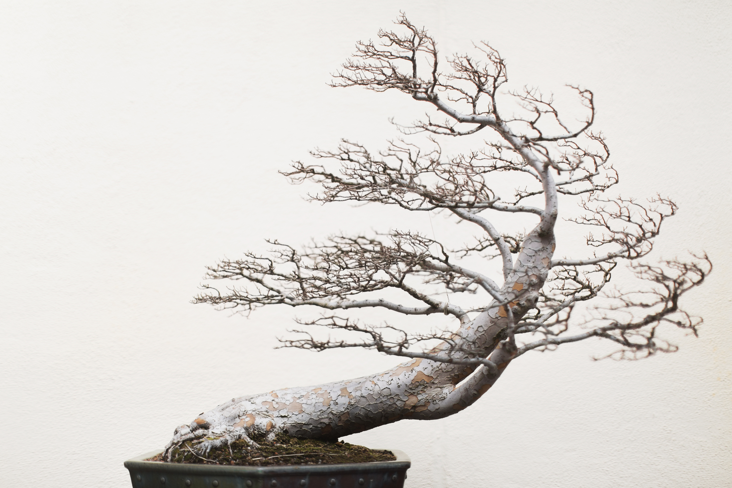 chinese-elm-bonsai.jpg