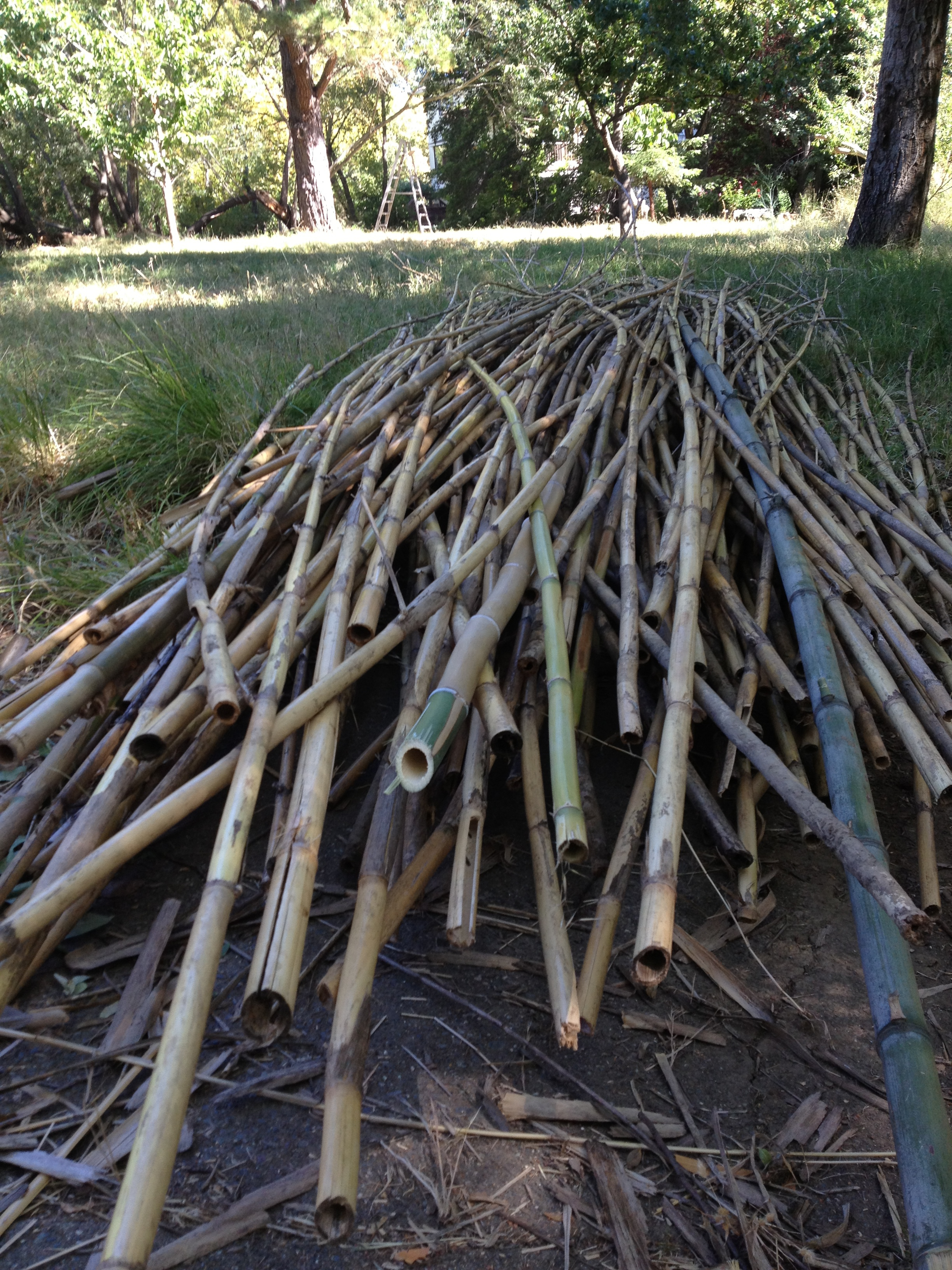 Pile of Arundo grass and bamboo