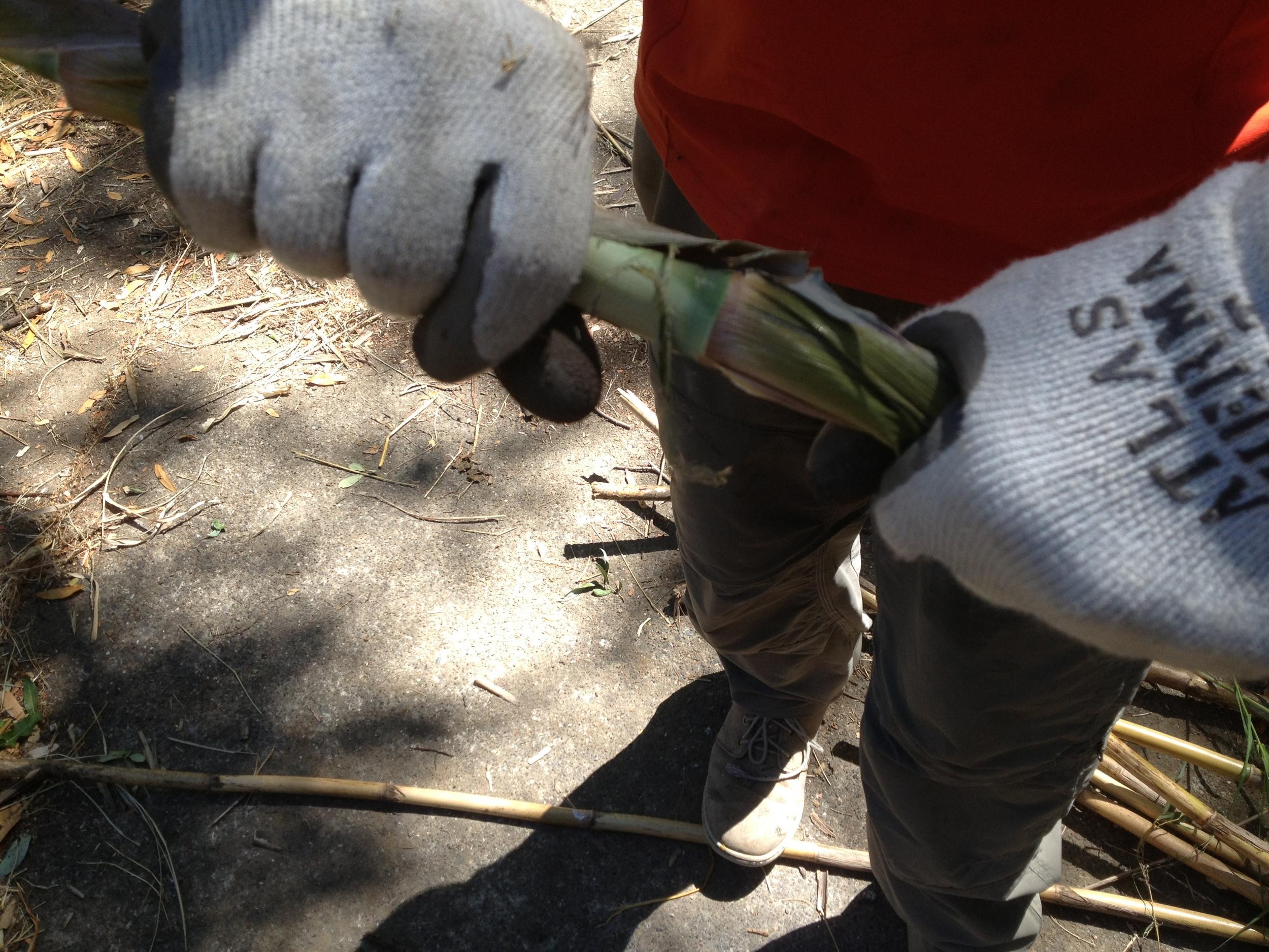 Twisting the sheath off of each stalk of Arundo.