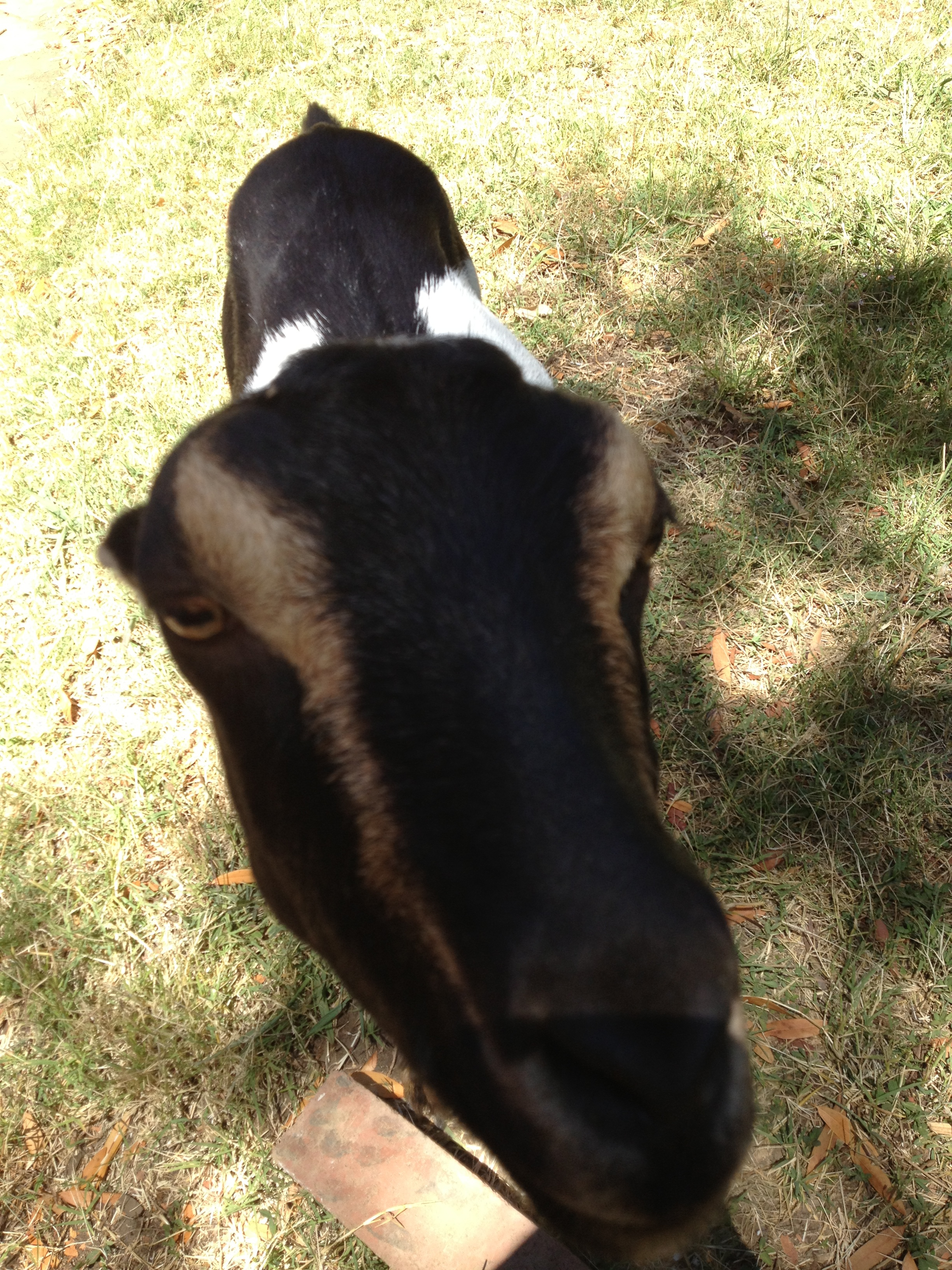 Rosie, the goat, getting curious while we cut the Arundo grass