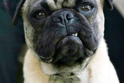 pug-dog-snarls-at-camera.jpg