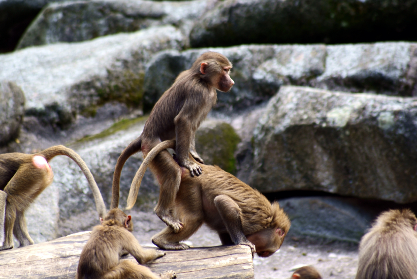 monkey-sex-mounting.jpg