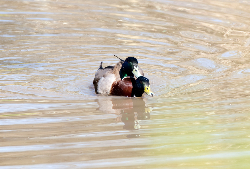 A mallard duck swimming in a lake