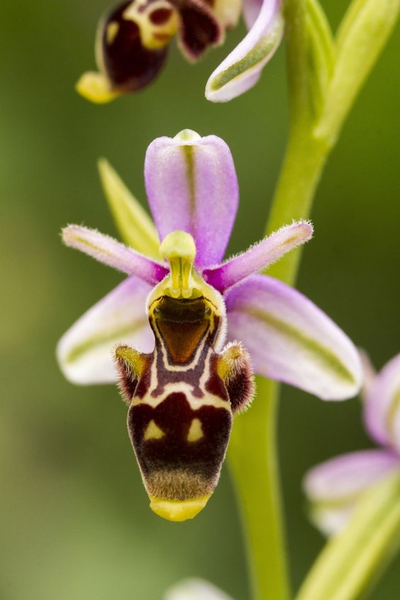 Bee orchid. Sexual deception.