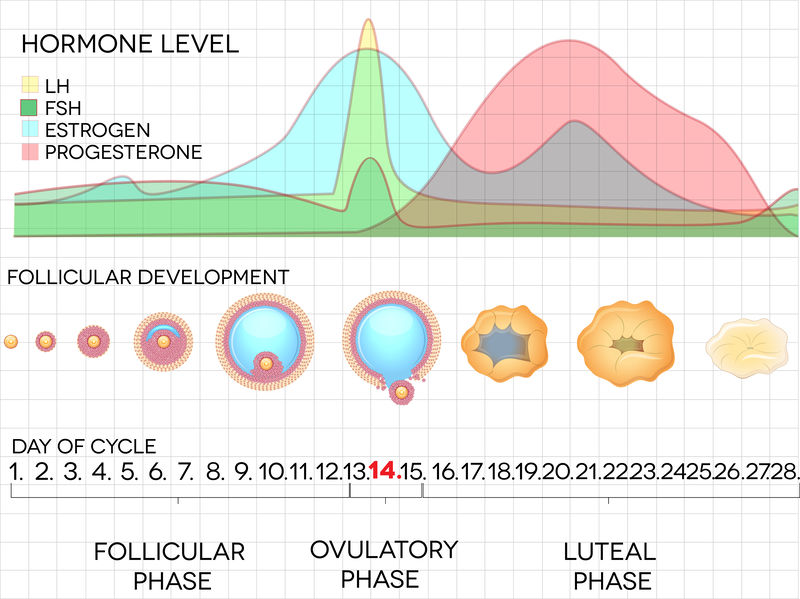 Menstrual cycle. Follicular, ovulatory, and luteal phases.