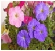Petunia         Choose from    Mix, White, Red,    Purple, Pink