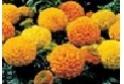 Marigold     (Large Head)        Choose from  Mix, Orange, Yellow