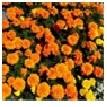 Marigold    (Small Head)        Choose from    Mix, Orange,          Yellow