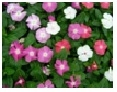 Vinca (Periwinkle)       Choose from     Mix, Pink,  Lavender, White,         Purple