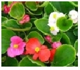 Green Leaf Begonia       Choose from    Mix, Rose, Red,         White