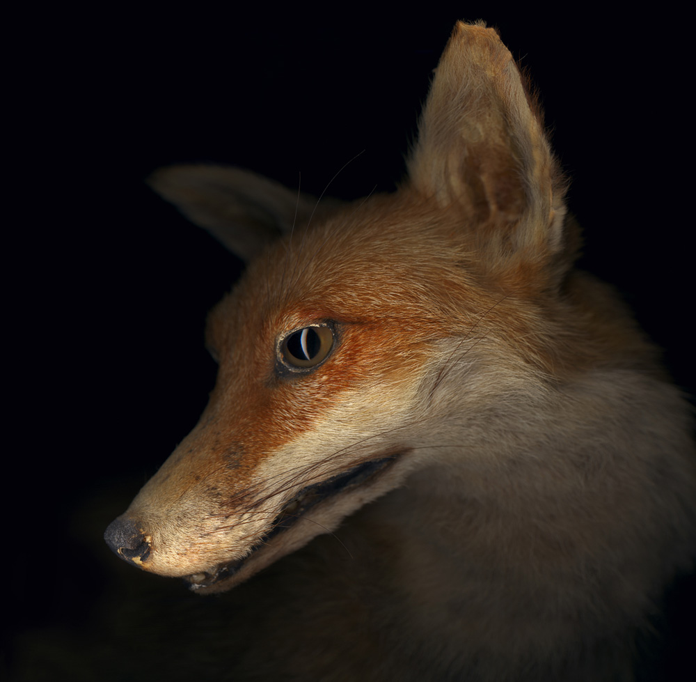 Gregory Elms,  Red Fox, Vulpes vulpes , 2010 Courtesy the artist