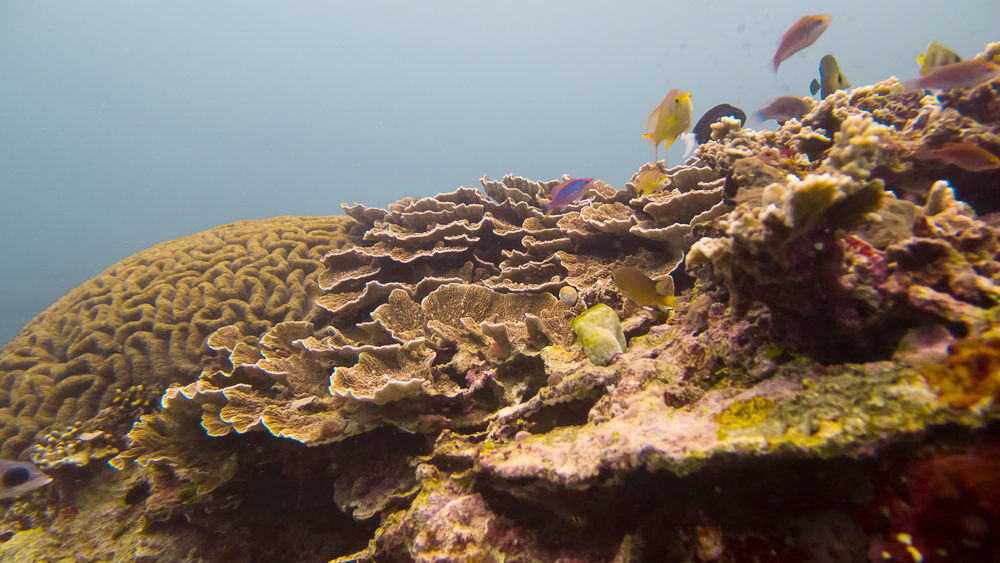 Assortment of coral taking up every inch of space at Manta Reef. Photo (c) Nixee Garcia.
