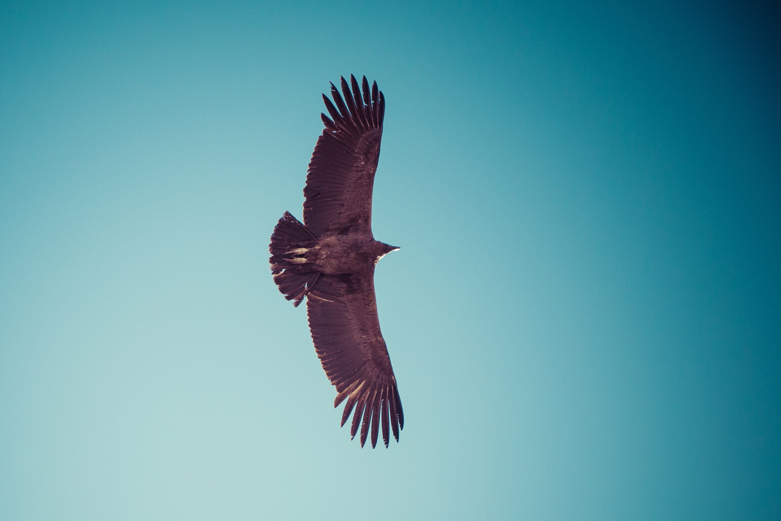 Free as a... species of vulture with a three-meter wingspan (Colca Canyon, Peru)
