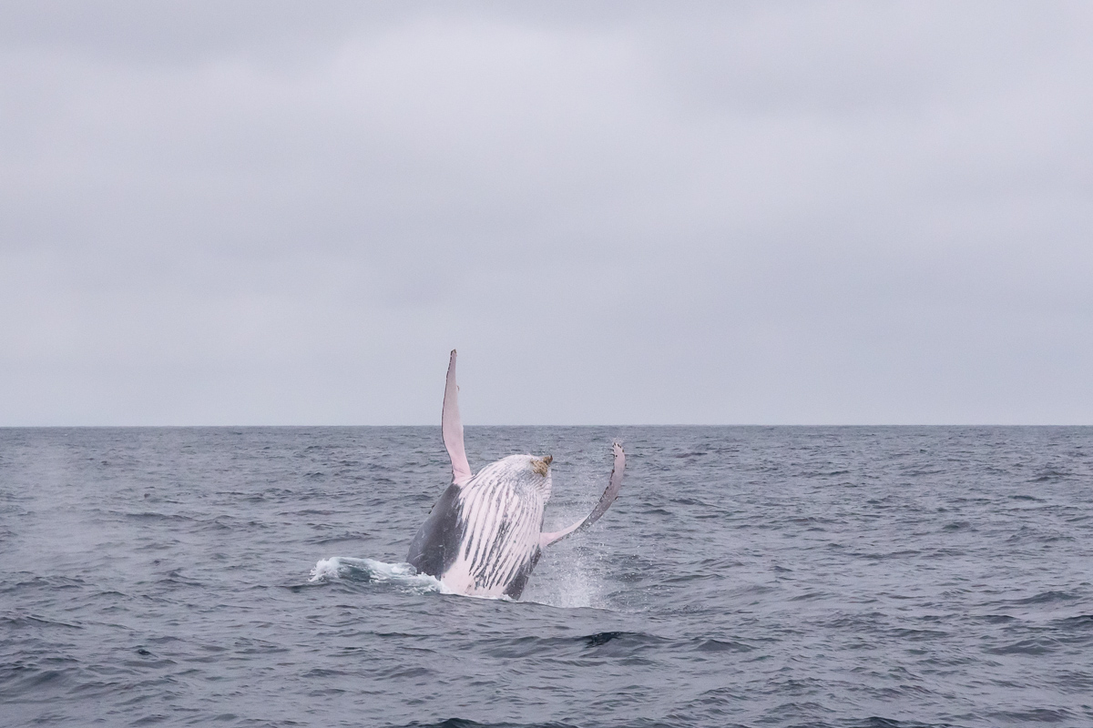 Humpback whale table flip! (Off the Pacific coast of Ecuador)
