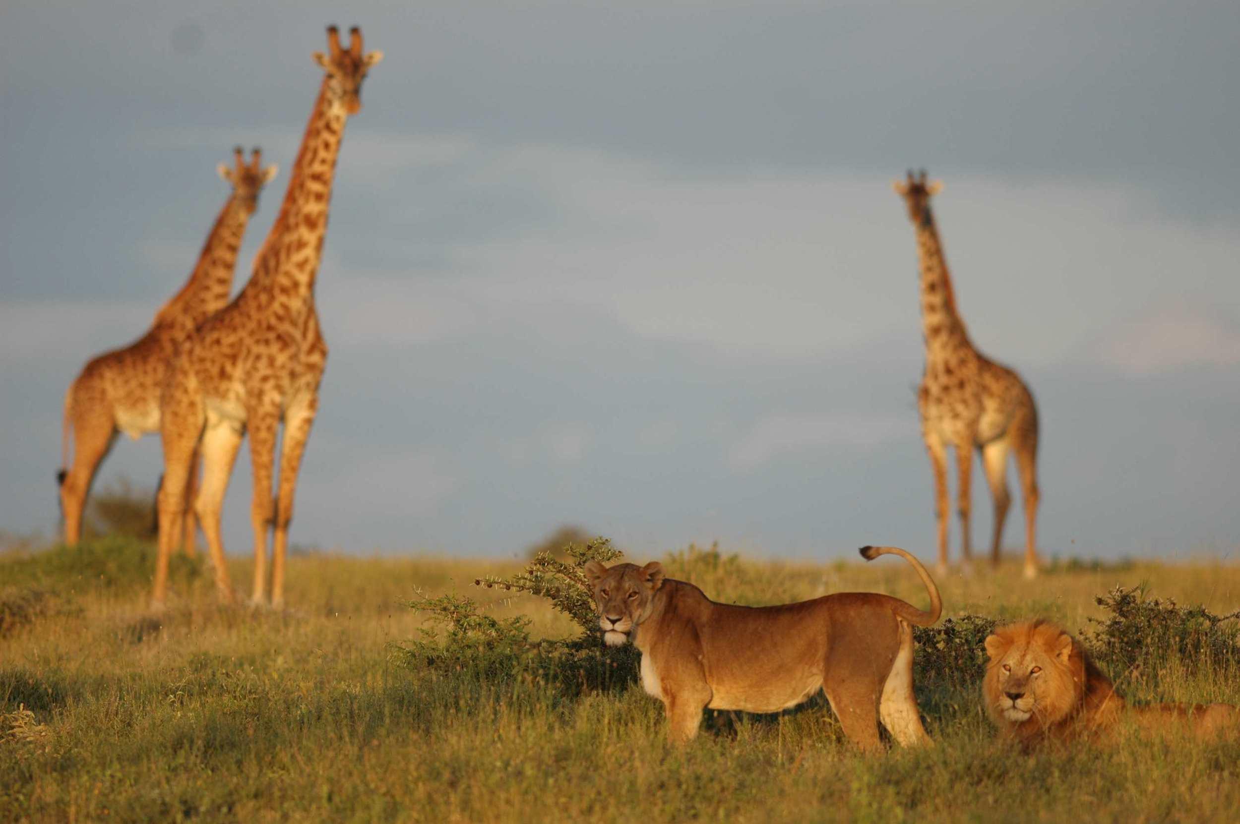 Lions & Giraffe.jpeg