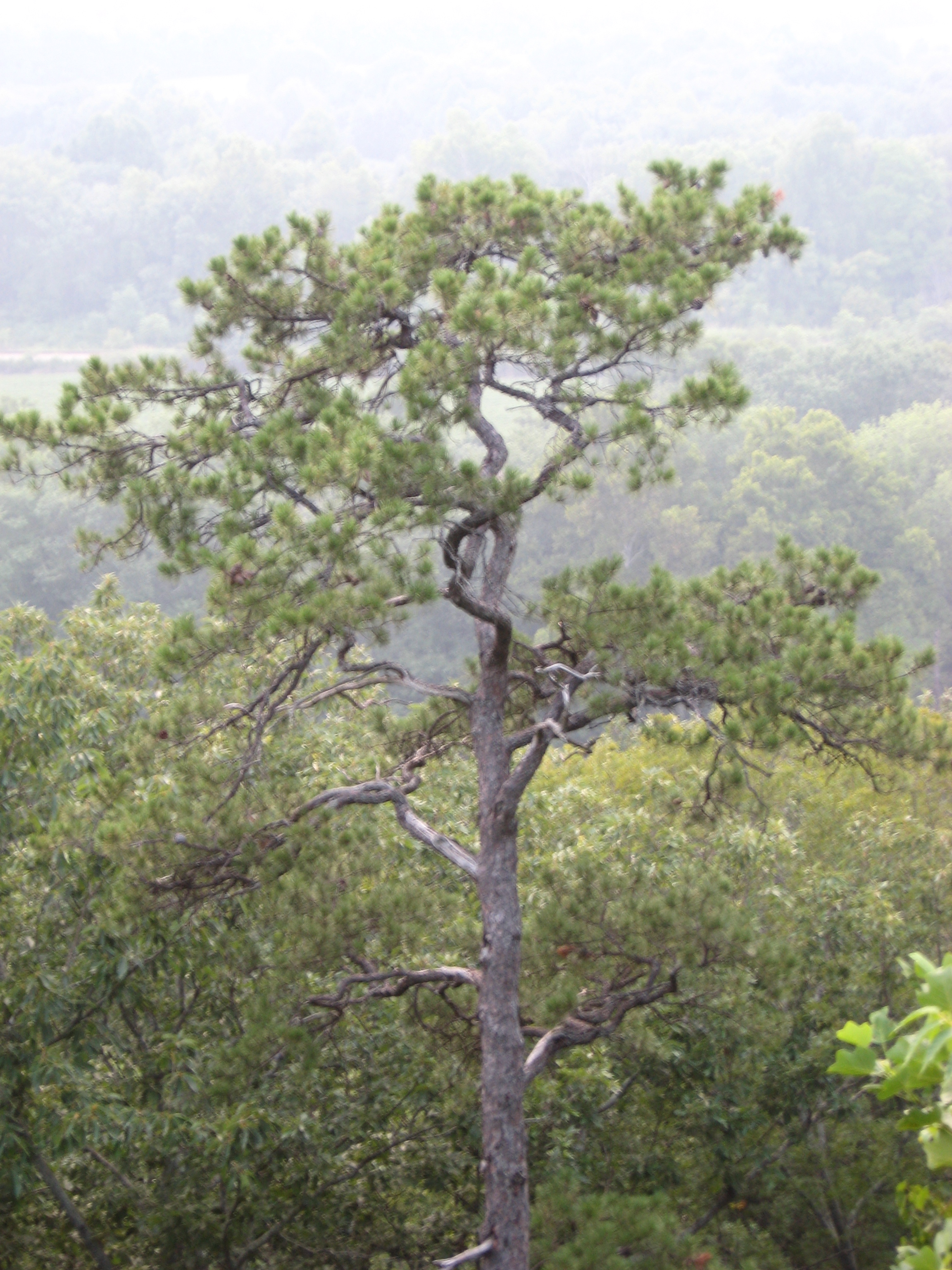 A tree at the overlook-Yogaville Virginia.