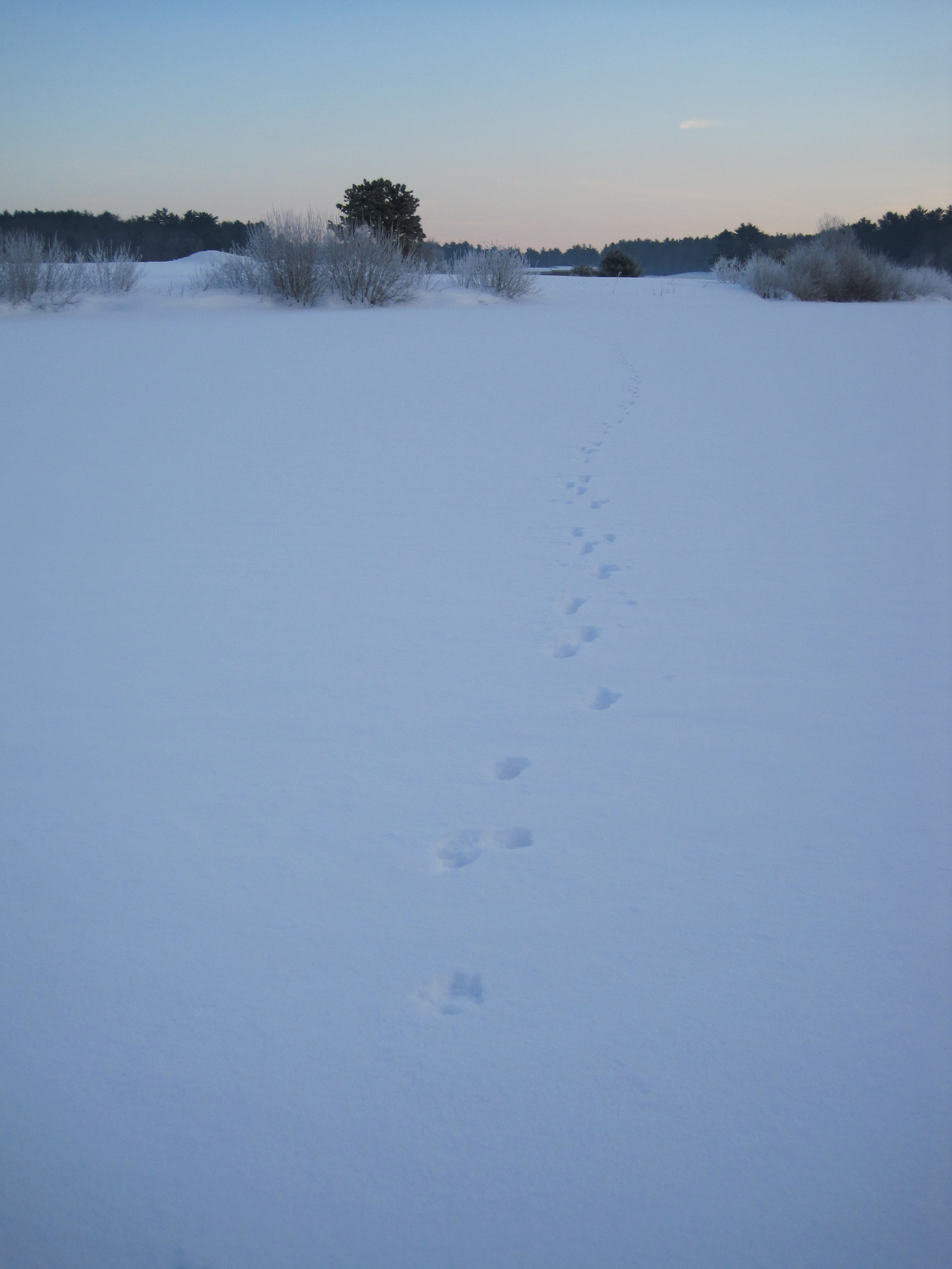 Coyote tracks I spotted at the bog last year.