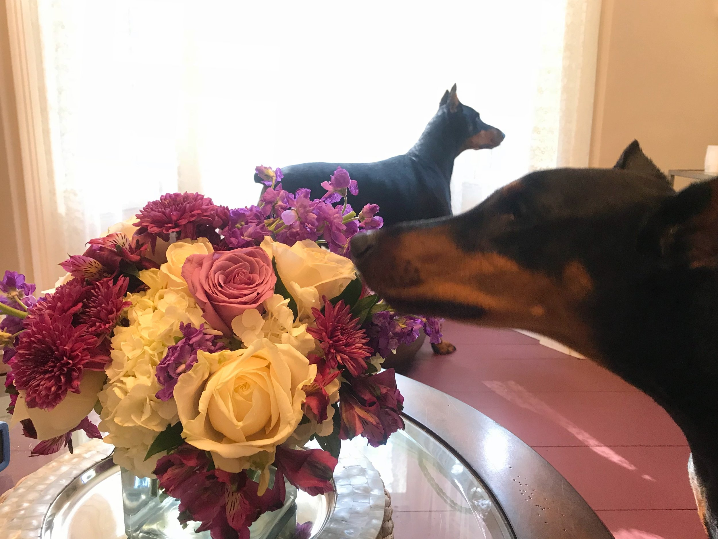 One of my adult yoga students brought these flowers for our altar. After our class ended I brought the dogs in from the kennels and Zoë made a beeline for the bouquet! I think she could feel all the good juju in the room!