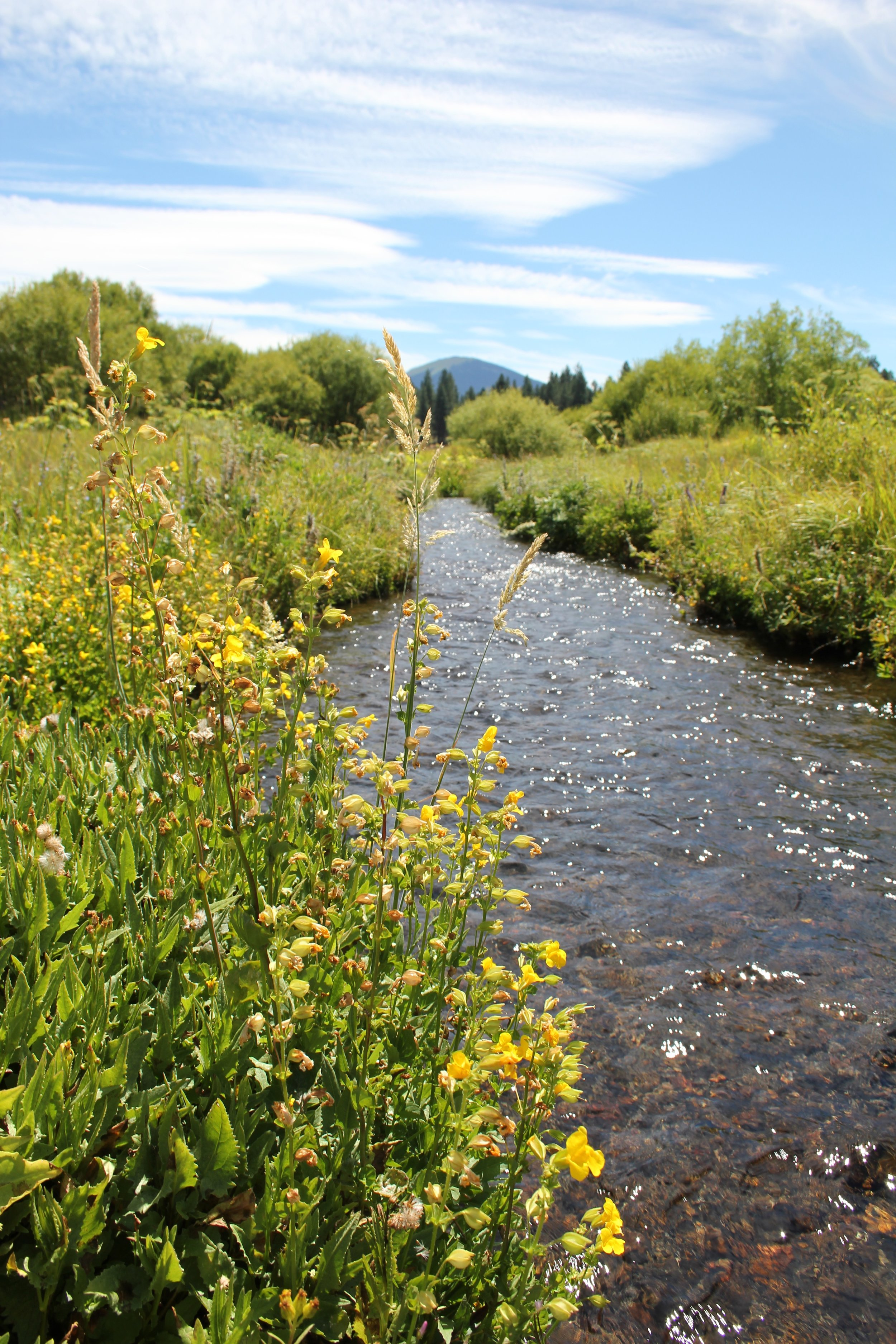 Fully formed streams pop up in the meadow and flow into the Metolius. - Cold, clear and delicious: this water keeps our pastures green.
