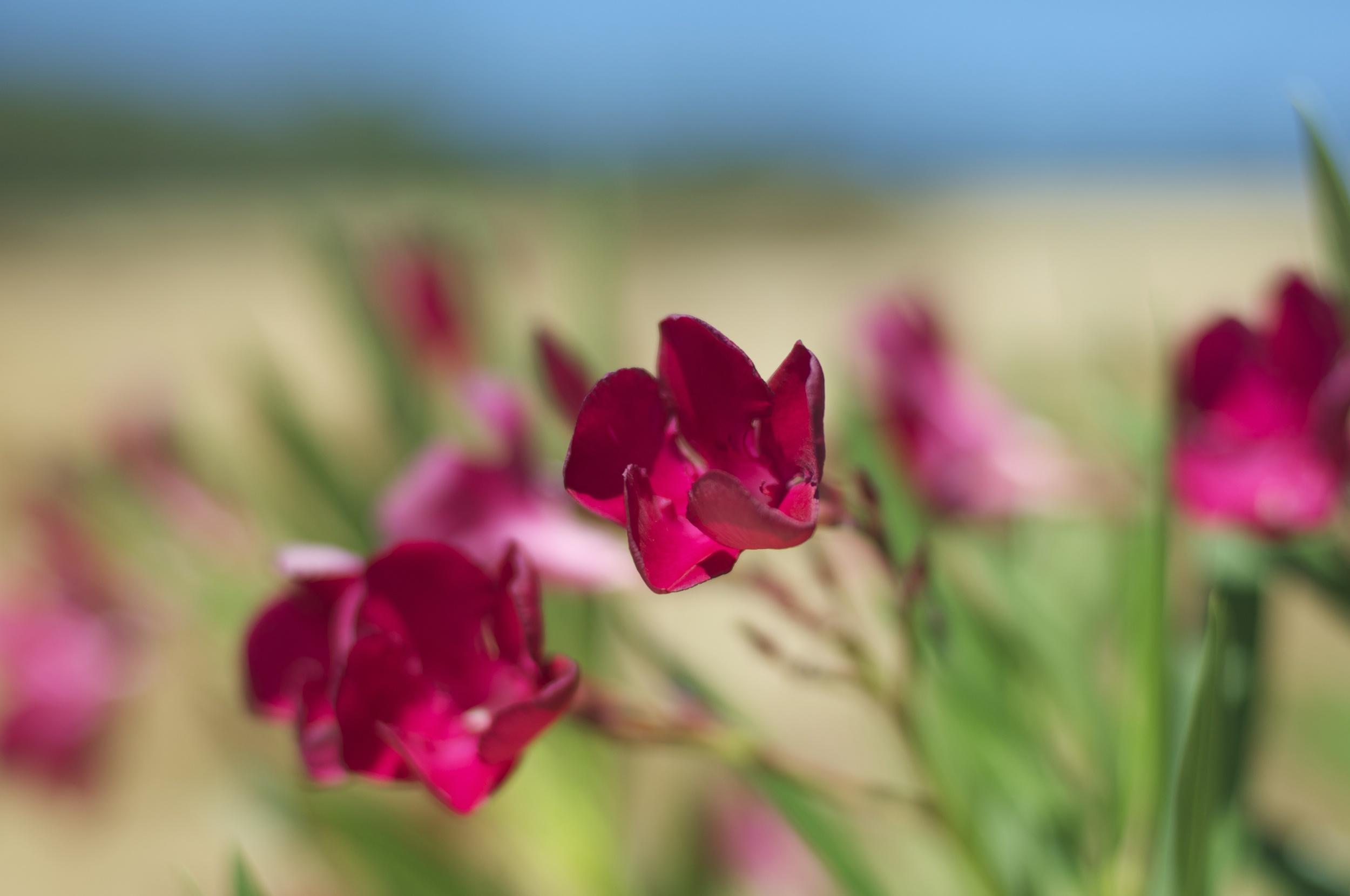 Oleanders blooming