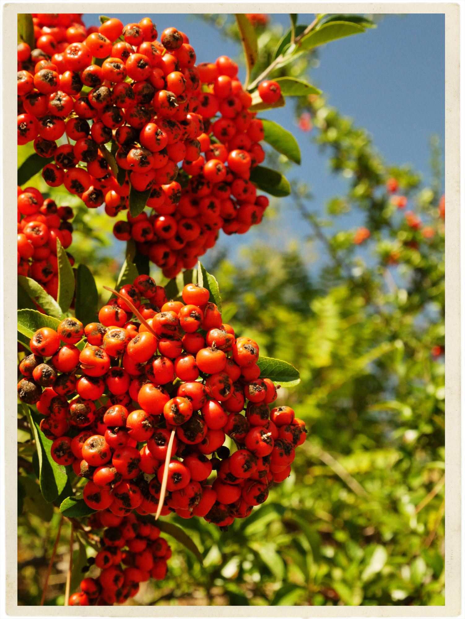 Autumn berries against a perfect blue sky.