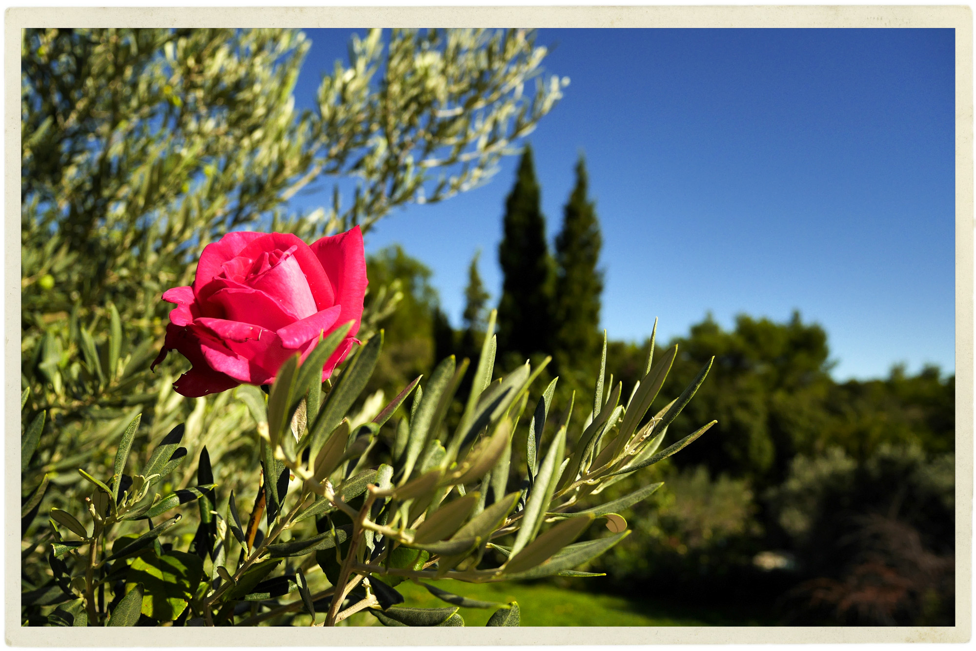 One lone rose amidst the olives.
