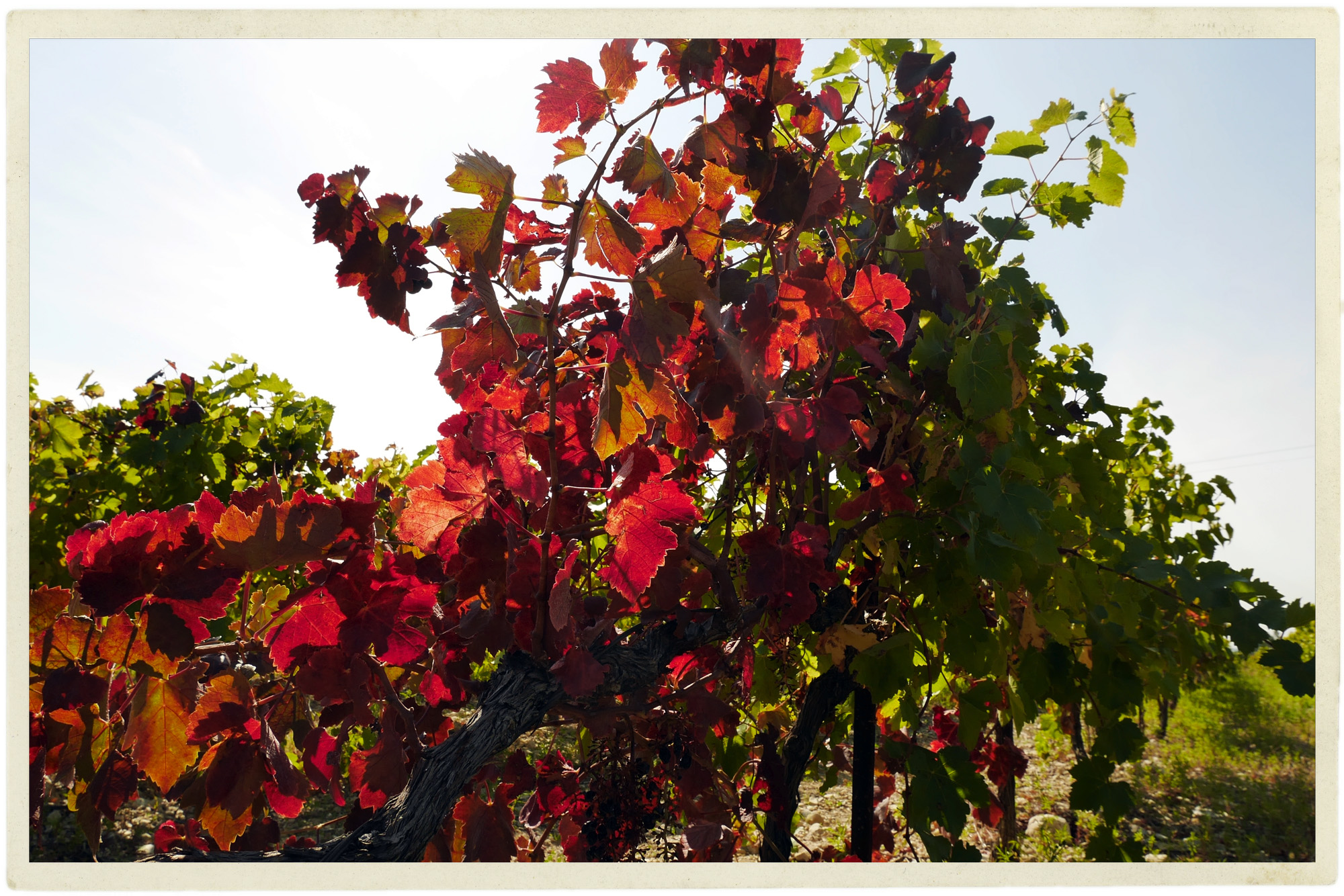 The beautiful changing vines near Caromb.