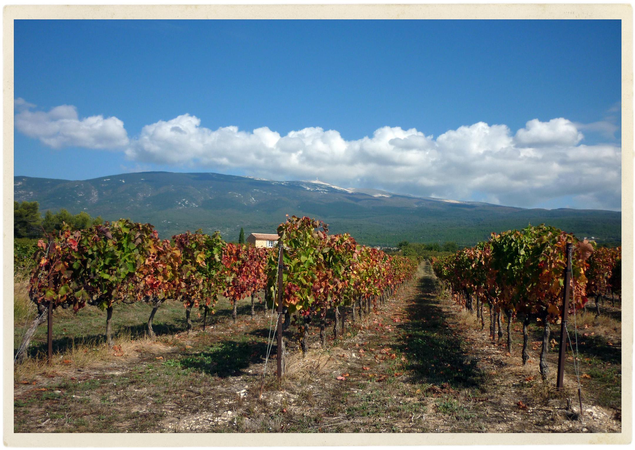 Autumn vines in the Ventoux.