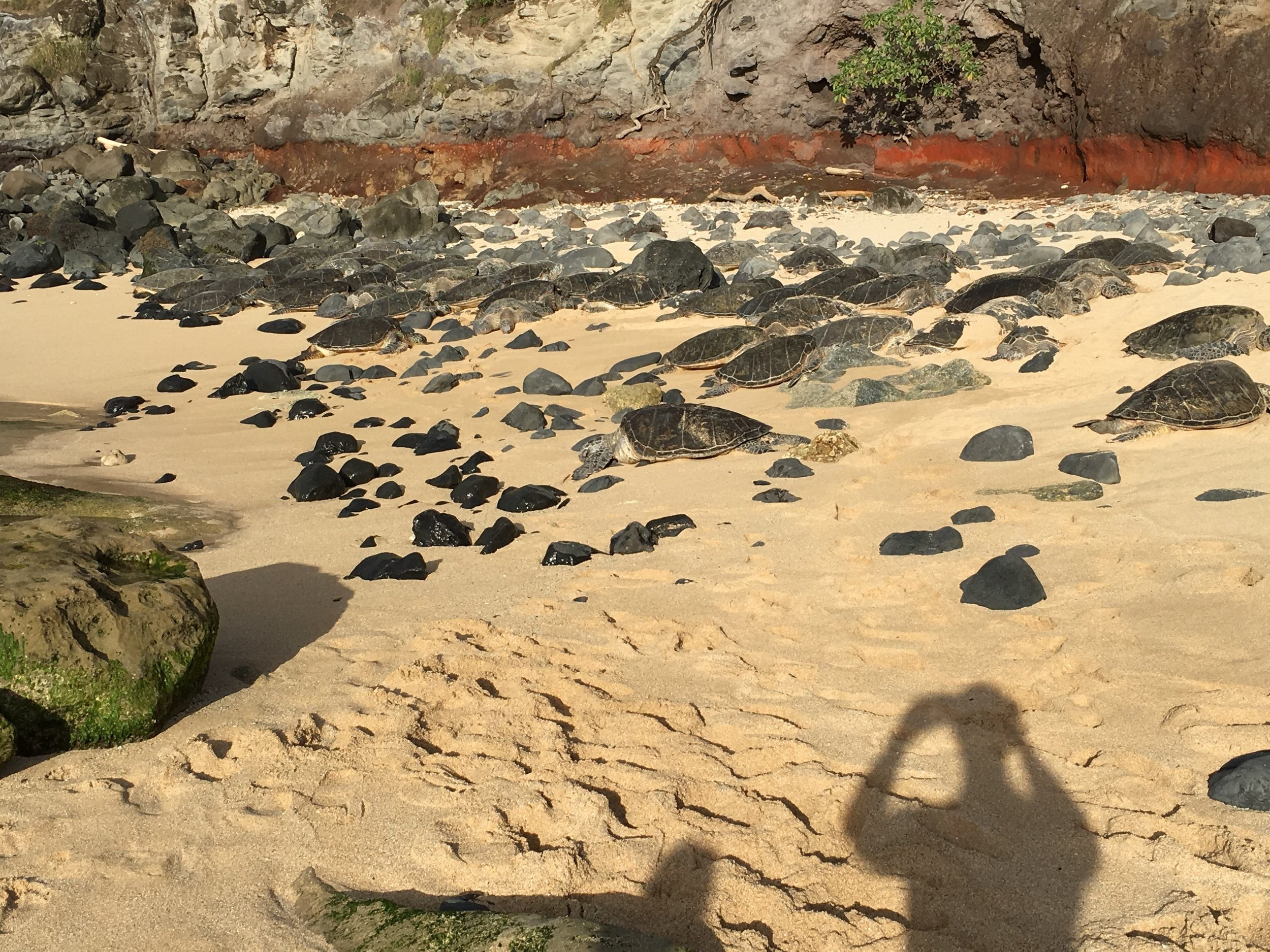 We counted at least 30 turtles, but there were likely more. On Ho'okipa beach.